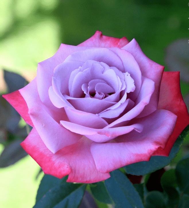 роза парадиз фото и описание если нет